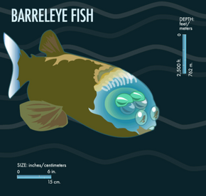 The front section of the barrelleye fish's head is transparent.