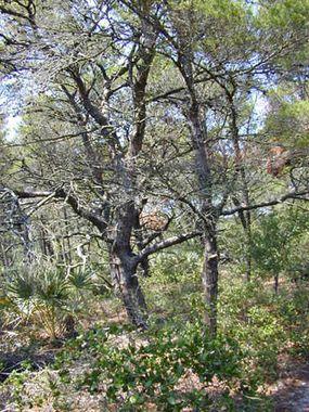 Scrub tree community of a maritime forest