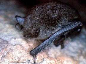 The gray myotis is a bat species found in the United States. These bats roost in large colonies, mostly in caves. This has made them an easy target for people looking to exterminate bats, since they're easy to find and whole colonies can be wiped out at one time. The gray-myotis population has dropped sharply over the last hundred years, but it is now on the rise again thanks to government conservation efforts.