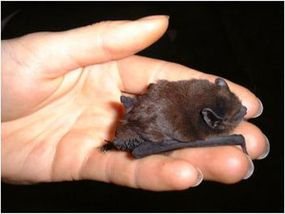 One of the smallest bat species is the long-tailed bat of New Zealand. These bats, which weigh only 8 to 11 grams (0.3 to 0.4 ounces), can use their tails as a pouch to carry captured insects back to the roost.