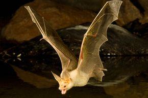 A pallid bat hunts for food above a pond in Arizona.