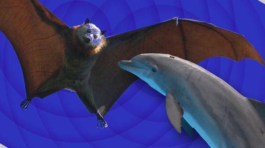 Battle of the Best Sonar: 'Team Dolphin' vs. 'Team Bat'