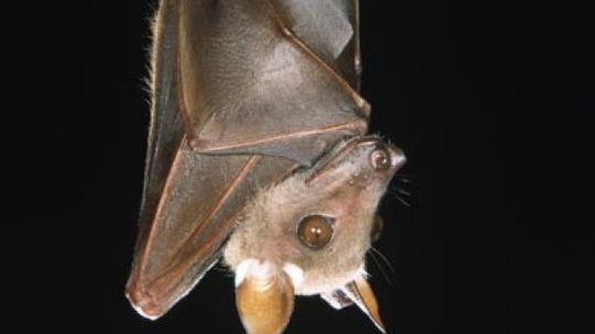 How Bats Work