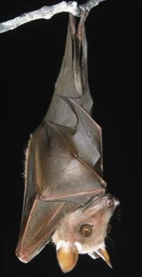 Buettikofer's Epauletted bat is hanging upside down. See more mammal pictures.