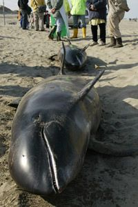 Plastic factors into beachings at least 50 percent of the time. Rescue workers were unable to save this whale near Tokyo.