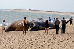 A beached finback whale drew attention on Herring Cove Beach in Massachusetts in 2009.