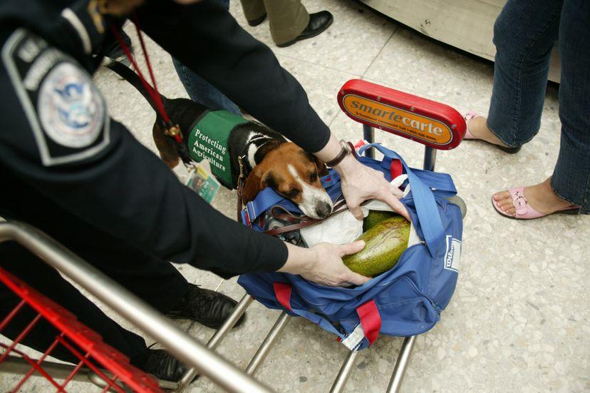 beagle on the job at airport