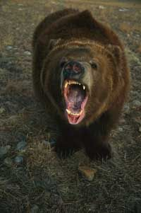 Mammal Pictures This grizzly doesn't have a friendly look on its face. What should you do? See more pictures of mammals.