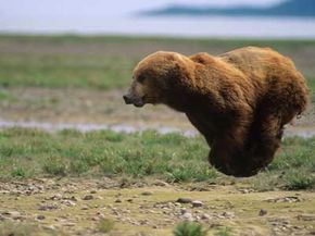 Bear on the run. Grizzlies may look slow and lumbering, but they can actually run at 30-mph speeds.