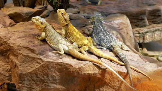 They Don't Breathe Fire, But Bearded Dragons Make Cool Pets