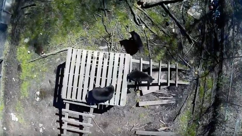 drones flying over bears
