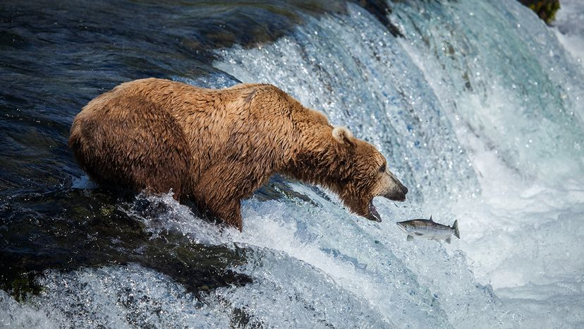 A brown bear catches a salmon on its way up river in Alaska. But brown bears on Kodiak Island have turned away from salmon to eat more berries, which are ripening earlier due to warming temperatures. Jennifer Leigh Warner/Barcroft/Barcroft Media/Getty Images