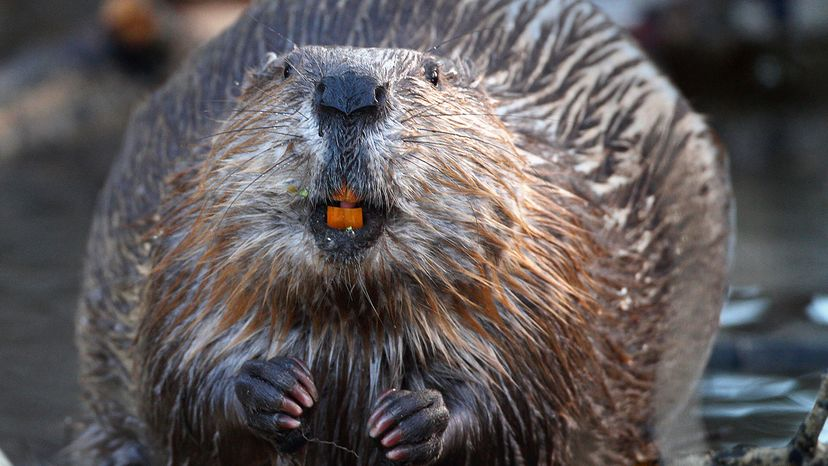 wild North American beaver shows off his orange teeth