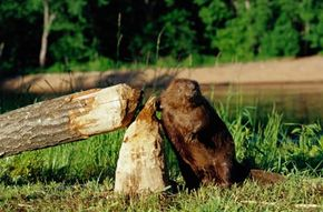 With their large front teeth, a pair of beavers can easily chew through the trunk of a medium-sized tree.