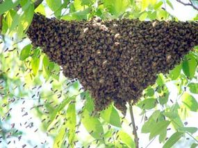 When honeybees leave a hive to start a new nest, they form a swarm.