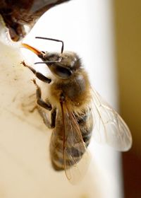 A drinking bee