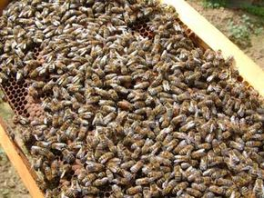 The sheer number of bees in colonies and swarms led some to believe that bees reproduced spontaneously. See more insects and biodiversity pictures.