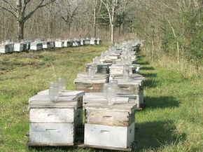 CCD appears to affect large-scale, commercial beekeeping operations. Its affects on feral bee colonies are unclear.