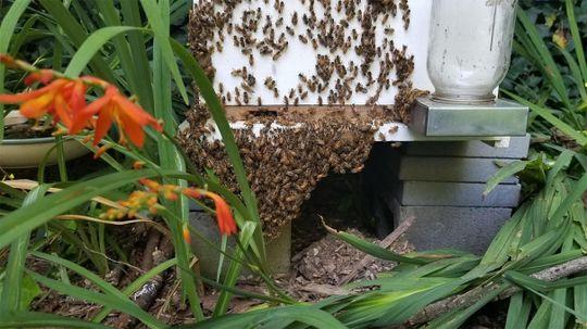 Honey Bees Beard to Beat the Heat