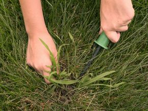 Removing crabgrass is tough but necessary if you don't have any cows to eat it up.