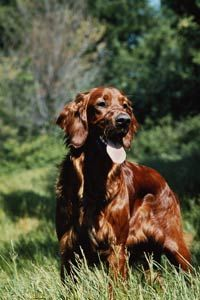 An Irish setter can get the job done.