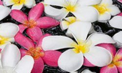 Frangipani blossoms float on water in Pattaya, Chonburi Province, Thailand. See more perennial flower pictures.