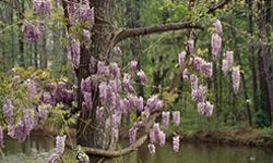 The sight of wisteria in bloom is a sure sign of spring in the southern U.S. Here it is in Atlanta, Ga.