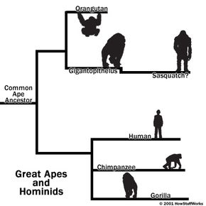 The gigantopithecus, a possible ancestor of the sasquatch, is most closely related to the modern orangutan.