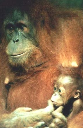 If sasquatch does exist, it is likely a close relative of the orangutan. With their long, reddish-brown hair, orangutans are similar in appearance to the sasquatches described by most eyewitnesses. They also live a solitary lifestyle, which matches the reported behavior of sasquatches.