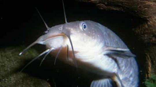 How can a catfish grow so big?