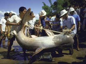 Imagine swimming alongside this Mekong giant catfish, which was caught in the Mekong River in 1986.