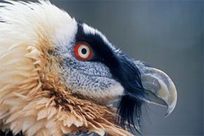 The bearded vulture faces the perils of a limited gene pool after being hunted nearly to extinction. See more pictures of birds.