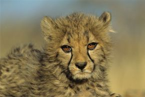 This cute cheetah cub could benefit from a bit more diversity. Serious inbreeding has decreased the gene pool of wild cheetahs and increased their vulnerability to changes in the environment. See more pictures of big cats.