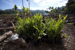 Growing crops for biofuel can have serious environmental drawbacks, such as the deforestation in Indonesia caused by palm oil plantations.