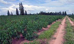 Ethanol made from the cassava shrub could help reduce poverty in Tanzania.