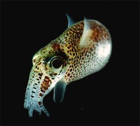 An adult Euprymna scolopes squid, which houses luminescent bacteria in its light organ.