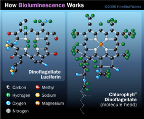 Dinoflagellate species that rely on photosynthesis for food have luciferin that is similar to chlorophyll.