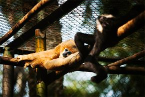 Studying other primates like these mature female (L) and male gibbons (R) can shed light on human behavior, too.