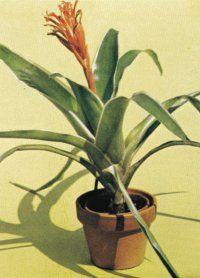 The Billbergia pyramidalis bromeliad is native to Brazil.