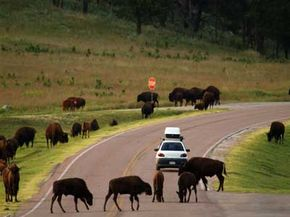 Lack of available land has been a major obstacle for bison conservation.