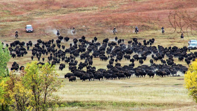 buffalo roundup