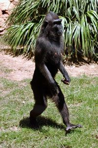 Natasha, a macaque in an Israeli zoo, began walking exclusively on two legs after almost dying from an illness.