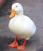 Photo courtesy MorgueFile                              Ducks can be asymptomatic carriers of the H5N1 virus.