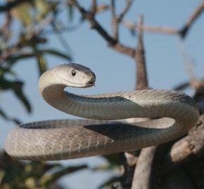 Black Mamba (Dendroaspis polylepis) portrait, largest venomous snake in Africa.