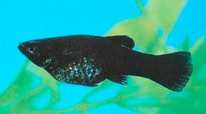 Black Molly -- Poecilia hybrid See more aquarium fish pictures.