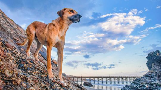 The Black Mouth Cur: The Sensitive but Strong Hunting Dog