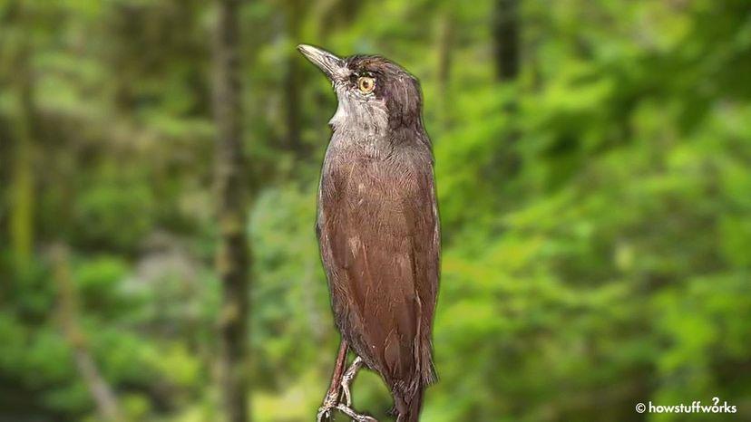 Black-browed Bbbbler