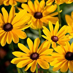 The black-eyed susan (Rudbeckia hirta) is the state flower of Maryland.
