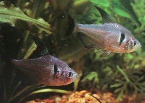 Black Phantom Tetra -- Megalamphodus melanopterus See more Aquarium Fish Image Gallery.