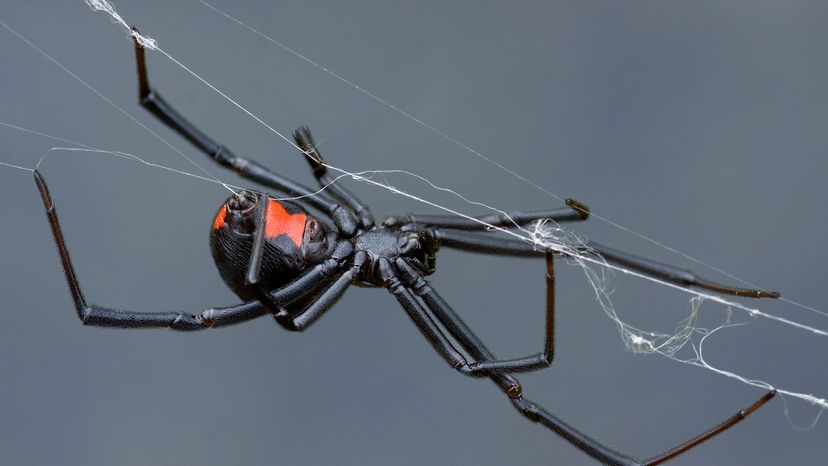 female black widow